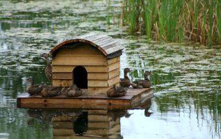 Ducklings on Duckhouse