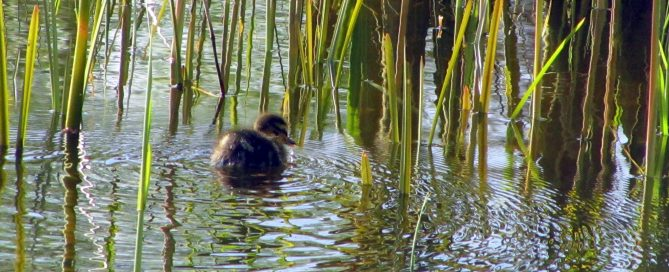 first duckling of 2017