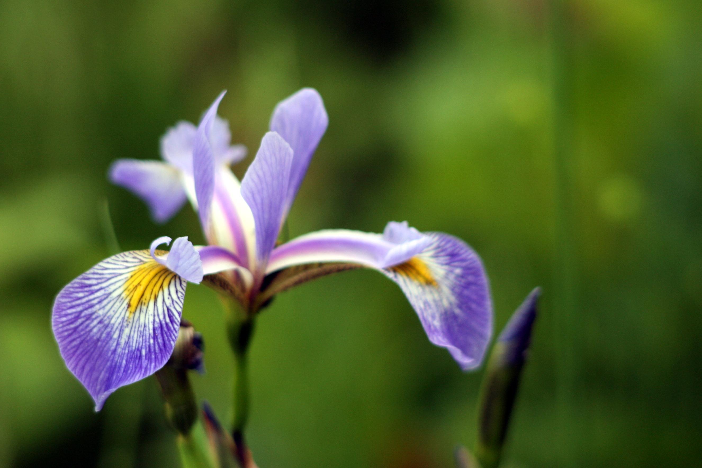 The Purple Water Iris